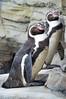 Zoo am Meer Bremerhaven 06 (akumaohz) Tags: zoo am meer bremerhaven deutschland germany d3200 nikon tier tiere animal animals natur nature tierpark tiergarten tiefenschärfe schärfentiefe bremen pinguin penguin schwarz weis black white