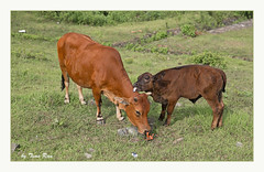 SHF_6628_Two cows (Tuan Râu) Tags: 1dmarkiii 14mm 100mm 135mm 1d 1dx 2470mm 2018 50mm 70200mm canon canon1d canoneos1dmarkiii canoneos1dx cow cows bò cỏ tuanrau tuan tuấnrâu2018 râu httpswwwfacebookcomrautuan71