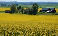 Blommande rapsfält, Hjortsberga, Närke 2018-05-20 (Torgil Jarnling) Tags: blommanderapsfält hjortsberga närke20180520 field rapeseed flowering
