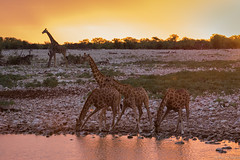 The last draught (Paco Conesa) Tags: namibia africa girafas hole drink wildlife animals giraffes canon paco conesa sunset