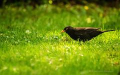 Amsel im Garten (videamus) Tags: bird amsel rasen garten zuhause tamron bokeh nikon d7000 iso 4000 green grün schwarz black bergisches land bergische heimat zoom singvogel
