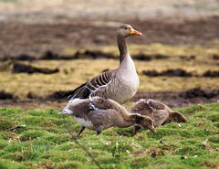 Teen mom (Jaedde & Sis) Tags: grågås greylag goose family three greylaggoose grazing challengefactorywinner thechallengefactory