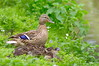 Présentations (Phil du Valois) Tags: canard cane caneton oiseau geresme faune sauvage libre bird duck wild wildlife free