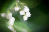 Lily of the Valley (judy dean) Tags: judydean 2018 garden flowers lensbaby velvet56 lilyofthevalley topaz sliderssunday hss