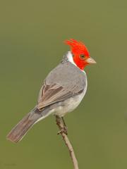 Red-crested Cardinal (Paroaria coronata) (SharifUddin59) Tags: redcrestedcardinal paroariacoronata kawainuimarsh kailua honolulu oahu hawaii bird perched nature wildlife animal