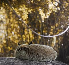 #InspiraciónBdF61: Dreaming Fox (celemirosotichez) Tags: inspiraciónbdf61 spiritofphotography