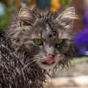 Post bath cat portrait (FocusPocus Photography) Tags: fynn fynnegan katze kater cat chat gato tier animal haustier pet nass wet bad bath htt zunge tongue sauber clean