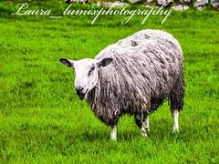 32775470_10156426840518756_6757147582939529216_n (laura_lumixphotography) Tags: sheep ireland dragonstone cliffs animals countryside