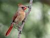 Northern Cardinal (backyardzoo) Tags: bird cardinal