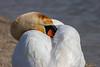 Chut! je rêve... Hush! I dream… (Savoie * 05/2018) (gerardcarron) Tags: animaux canon80d cygne eau lacbourget lake nature oiseaux printemps savoie water spring
