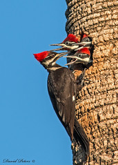 Pileated Woddpeckers (D. C. Peters) Tags: