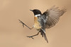 Stonechat (Blake Wardle DPAGB) Tags: canon nature wildlife bird stonechat bbc springwatch scotland uk