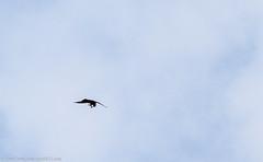 0T4A7638 (2) (Alinbidford) Tags: alancurtis alinbidford birdofprey brandonmarsh hobby nature wildbirds wildlife