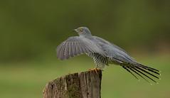 Cuckoo (Markp33) Tags: cuckoo