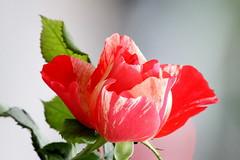 Rose panachée rencontrée à Monaco (Christian Chene Tahiti) Tags: canon 7d montecarlo monaco rose panaché colour couleur fleur feuille flower flores flore leave macro nature travel vert voyage plante extérieur pétale motif motiforganique