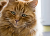 Cosmo-4298 (Andy Kaye) Tags: cat kat kitten kedi gat gato feline ginger orange