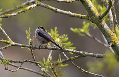 Chapim-rabilongo - (Aegithalos caudatus) - Long-tailed tit (carloscmdm) Tags: aves parque jamor selvagem natureza