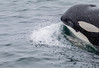 Orca (Stephen R. D. Thompson) Tags: 2018 california locations mammals nature stcphotography whales stephen r d thompson killerwhaleorca usa monterey montereybay stephenrdthompson animals openocean orca