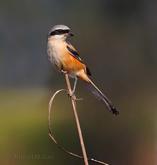 Shrike (ahmadmakenza) Tags: shrike wildlife pakistan wwf nature natural canon birds watch animals bbc flickr google discovry chanals tv lens camera beutty photo macro action walpapers bhalwal punjab animal outdoor ahmad maken black