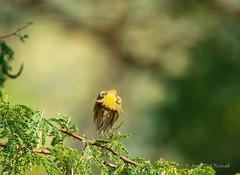 _DSC4974 (AngelPixCn) Tags: angepixcn birds farm feathers green hennopsriver nikond7100 pet southafrica tree wildlife wings centurion gauteng za