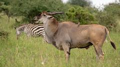 Nairobi-Nationalpark-7287 (ovg2012) Tags: commoneland eland elenantilope kenia kenya nairobi nairobinationalpark safari