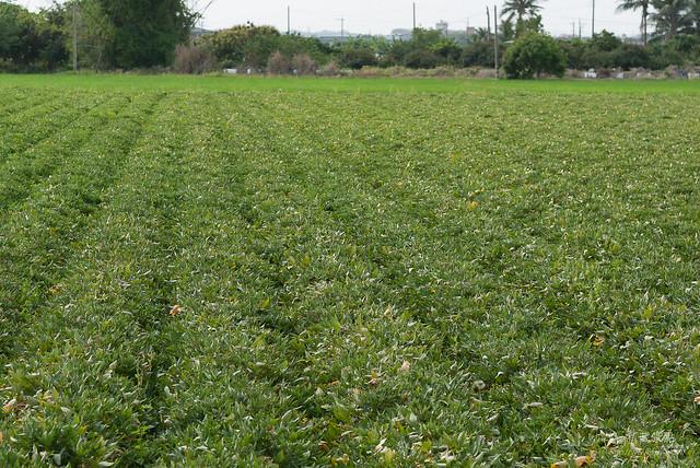 原來地瓜是這樣採收,還有人專門撿剩下的蕃薯(2)