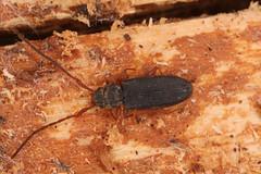 Uleiota planata (Linnaeus, 1761) = Cerambyx planatus Linnaeus, 1761. (chug14) Tags: macro insecte unlimitedphotos animalia arthropoda hexapoda insecta coleoptera silvanidae cerambyxplanatus uleiotaplanata