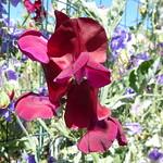 red sweet pea 5 2 18 thumbnail
