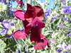 red sweet pea 5 2 18 (safoocat) Tags: fz150 40