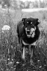 Maximus (Nymeriana) Tags: dog outdoor koira mixbreed xbreed rescue spanish rottweiler mutt mastiff summer outdoors