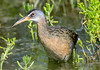 Clapper Rail (Ed Sivon) Tags: america canon nature wildlife wild western water southwest statepark galveston bird texas