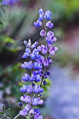 Wild Lupine (starborn-alchemy) Tags: flowers bloom sedona arizona lupine wildflowers purple nature flower spring