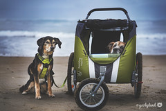 always together ❤️ (yookyland) Tags: dogs dogstroller foggy morning beach oregon coast bestfriends