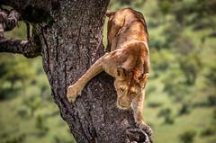 Tree climbing (ラルフ - Ralf RKLFoto) Tags: masaimara lion lioness wildlife kenya africa safari löwe