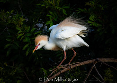 Cattle Egret - morning light and full breeding plumage (DonMiller_ToGo) Tags: cattleegret wildlife rookery nature bird birds outdoors birdwatching venicerookery d810 matingplumage florida