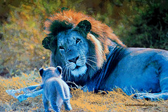 THE LATEST FASHION OF KING LION. (Viktor Manuel 990.) Tags: kinglion reyleon leon lion blue azul digitalart artedigital painting pintura nature naturaleza querétaro méxico victormanuelgómezg