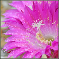 Rain in So Cal in May (tdlucas5000) Tags: flower raindrops d850 sigma105 closeup macro bokeh pink echinopsis cactus cactusflowers socal
