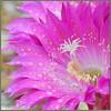 Rain in So Cal in May (tdlucas5000) Tags: flower raindrops d850 sigma105 closeup macro bokeh pink echinopsis cactus cactusflowers socal