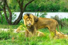 Los leones de Sigean (jlnavarro76) Tags: leon lion sigean nikond3300 tamrom70300 francia france manana libertad paisaje felinos familia