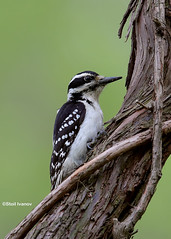 Female Hairy woodpecker - Leuconotopicus villosus (Stoil Ivanov) Tags: hairywoodpecker femalehairywoodpecker leuconotopicusvillosus labaghwoods chicagoillinoisusa