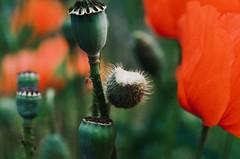 impressive poppies (eva.pave) Tags: nature flower plant bloom blossom poppy poppies red detail macro impresivness dof bokeh