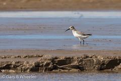 Curlew Sandpiper (Ponty Birder) Tags: g b wheeler pontybirder garywheeler wales waders sandpiper birds inexplore