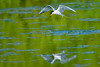 Thou shalt have a fishy (Paul Wrights Reserved) Tags: reflection reflections tern commontern bird birding birdphotography birds birdwatching birdinflight birdofprey birdofpreyinflight hunter hunting fish fisherman