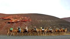 Camels in the Timanfaya (irebch) Tags: timanfaya parquenacional lanzarote island isla camellos camels