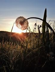 Sunrise Through Dandelion Seed Head - Druridge (Gilli8888) Tags: northeast countryside nikon p900 coolpix northumberland druridge druridgeponds sun sunrise dawn light dandelion flora seeds wetlands