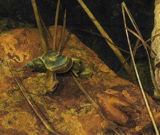 Water snails: 17.5.18.