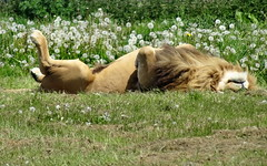 """Simba's having a lazy Caturday (LadyRaptor) Tags: yorkshirewildlifepark yorkshire wildlife park doncaster ywp nature outdoors spring time springtime warm hot sunny light shining bright shine sunshine grass flowers dandelions laying down flopped sun bathing sunbathing bask basking rest resting tired sleepy sleeping nap napping relaxing relaxed chilling rolling happy content majestic cute animal animals predator carnivore feline felines felidae felid cat cats bigcats lion lions adult male males mane africanlion panthera leo pantheraleo """"into africa"""" lioncountry pride simba"""