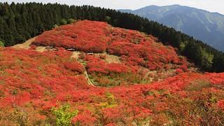 mountain with wild azalea