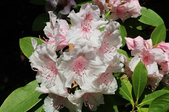 Rhododendron (Martellotower) Tags: rhododendron mulgrave estate north yorks