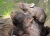 wombat Duisburg BB2A7580 (j.a.kok) Tags: wombat australie australia buideldier dier baby babywombat motherandchild moederenkind duisburg mammal zoogdier animal